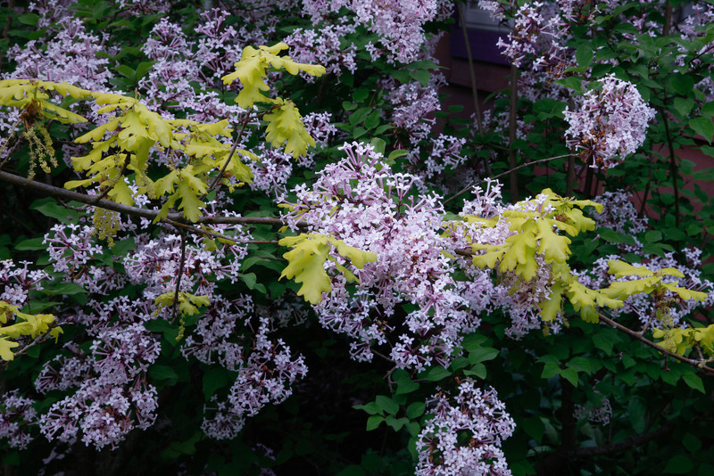 SYRINGA PUBESCENS SSP MICROPHYLLA 'SUPERBA'<br /> LITTLE LEAF LILAC WITH QUERCUS ROBUR CONCORDIA BRANCH