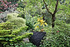 HYDRANGEA LITTLE HONEY, BETULA TROSTS DWARF, GOLDEN SPREADER, CHIMONATHUS RETUSA