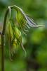DISPORUM LONGISTYLUM 'GREEN GIANT'