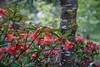 RHODOENDRON MEDUSA AGAINST TRUNK OF LABURNUM VOSSII