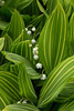 CONVALLARIA MAJALIS ALBOSTRIATA (LILY OF THE VALLEY)