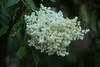 BLOOM OF SYRINGA PEKINENSIS