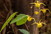 EPIMEDIUM X GOLDEN TREASURE