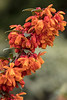 BERBERIS LINEARFOLIA ORANGE KING