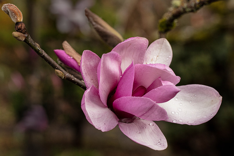 MAGNOLIA 'APOLLO'