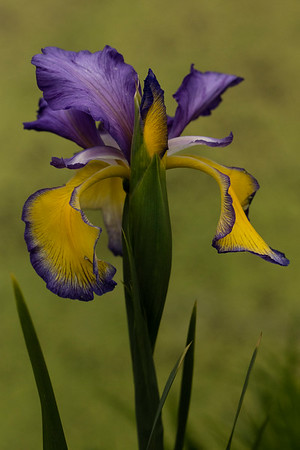 IRIS SPURIA 'ADRIATIC BLUE'
