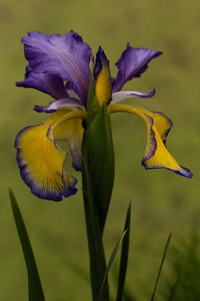 IRIS SPURIA 'ADRIATIC BLUE'