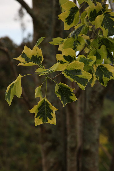 VARIEGATED LIRODENDRON