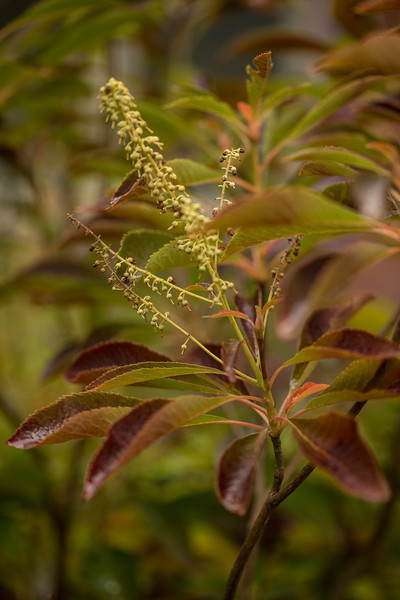 FALL COLOR OF CLETHRA BARBINERVIS