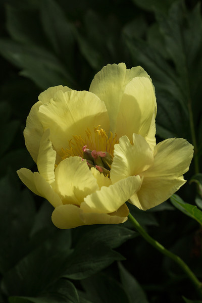 INTERSECTIONAL PEONY 'GARDEN TREASURE'