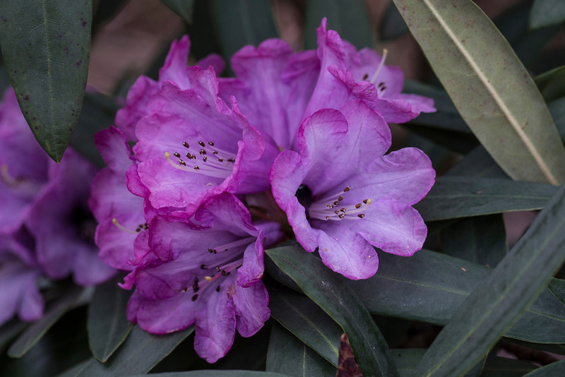 UNK RHODODENDRON