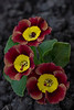 PRIMULA AURICULA  'ANCIENT SOCIETY'
