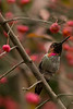 Anna hummingbird in Euonymus europaeus