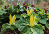 RARE YELLOW FORM OF TRILLIUM KURABAYASHI
