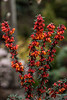 BERBERIS ORANGE KING