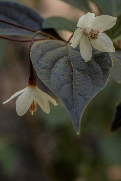 STYRAX 'EVENING LIGHT'