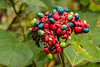 FALL FRUIT COLOR OF CLERODENDRON BUNGEI