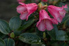 RHODODENDRON REVE ROSE