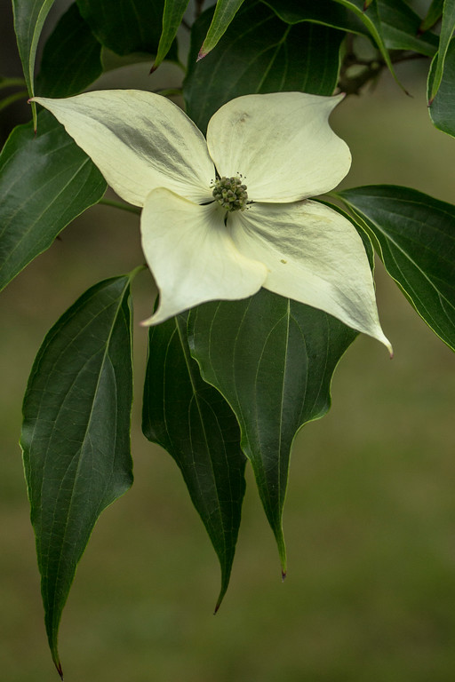 CORNUS KOUSA 'BIG APPLE'