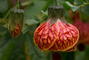 ABUTILON 'TIGER EYE'