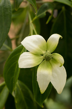 CORNUS ANGUSTATA 'EMPRESS OF CHINA'