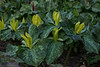 YELLOW FORM OF TRILLIUM KURABAYASHII