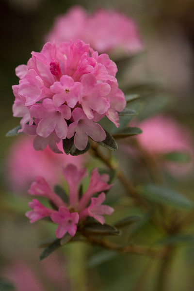 RHODODENDRON RAE BERRY