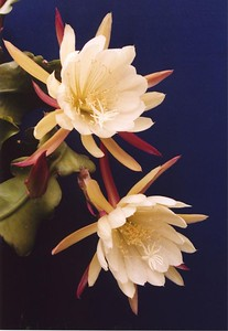 Actually, 'epiphyllum', not epiphylum. Occasionally called phyllocactus, or 'orchid cactus'. For more information, look at http://www.epiphyllum.com