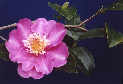 18May2004-1_Camellia