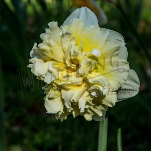 DaffodilHill2523