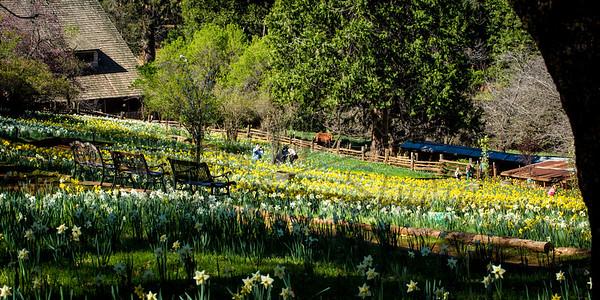 DaffodilHill2526