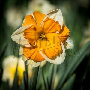 DaffodilHill2533