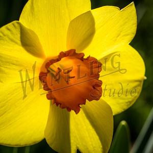 DaffodilHill2543
