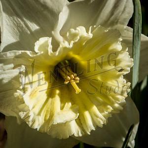 DaffodilHill2517