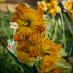 DaffodilHill2524
