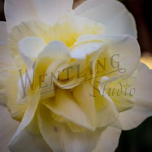 DaffodilHill2544