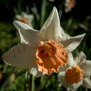 DaffodilHill2521