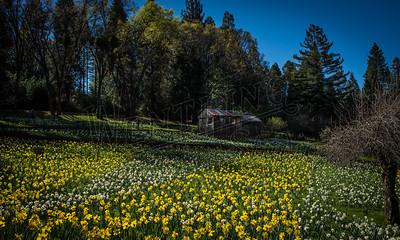 DaffodilHill2513