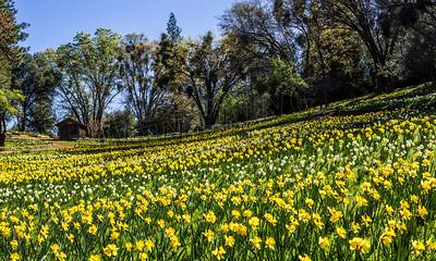 DaffodilHill2511