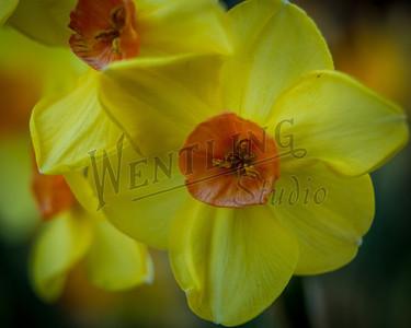 DaffodilHill2554