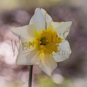 DaffodilHill2537