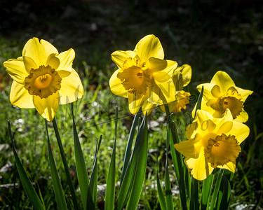 DaffodilHill2538