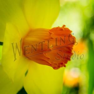 DaffodilHill2541