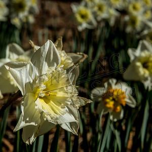 DaffodilHill2514