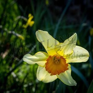 DaffodilHill2550