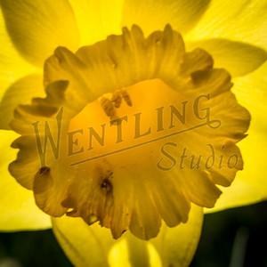 DaffodilHill2539