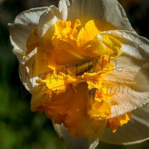 DaffodilHill2519