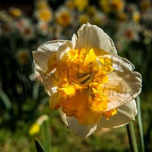 DaffodilHill2522