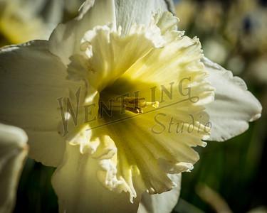 DaffodilHill2518
