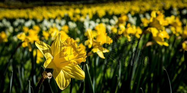 DaffodilHill2512